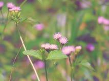 Odorata Chromolaena & x28; Общее flower& x29 зубочистки; Травы типично нашли в поле травы Селективный фокус Стоковая Фотография RF