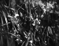 Odorata da viola e grama verde cobertos com o orvalho em uma manhã do verão fotografia de stock