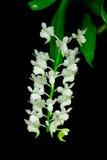 Odorata de Aerides, orquídea color de rosa de la bolsa cerrada Imagen de archivo libre de regalías