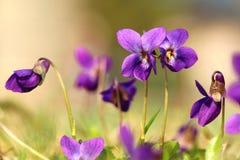 Odorata de Violet Viola Fotos de Stock
