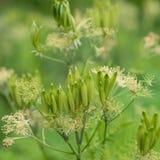 Odorata do Myrrhis da flor Fotografia de Stock