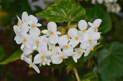 Odorata fragante de la begonia de la begonia fotos de archivo libres de regalías