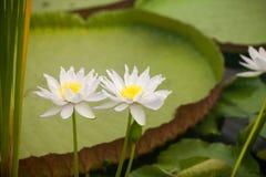 Odorata Nymphaea, σπίτι Waterlily, βασιλικοί κήποι KEW Στοκ Εικόνα