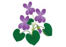 Odorata Viola απεικόνιση αποθεμάτων