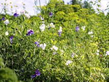 Odoratus del Lathyrus dei piselli dolci che cresce in un giardino con l'anethum graveolens dell'aneto immagine stock libera da diritti