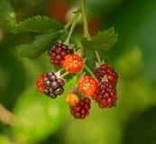 """Odoratus del Rubus del †delle more """" fotografia stock"""