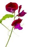 Odoratus do Lathyrus, ervilha doce Imagem de Stock