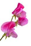 Odoratus do Lathyrus, ervilha doce Foto de Stock