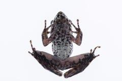 Odorrana-schmackeri Boettger, 1892: Frosch auf weißem Hintergrund Lizenzfreie Stockbilder