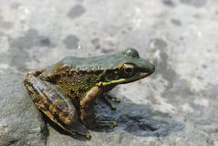 Odorrana swinhoana frog Stock Photography