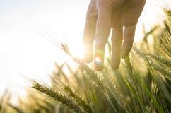 Oídos conmovedores del trigo de la mano del granjero Imagenes de archivo