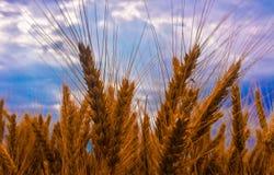 Oídos del trigo Foto de archivo libre de regalías