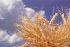 Oídos del trigo contra el cielo Imágenes de archivo libres de regalías