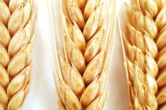 Oídos del trigo en el fondo blanco Fotos de archivo libres de regalías