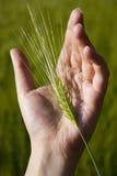 Oídos del trigo en la mano de un hombre Fotos de archivo libres de regalías