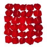 Odosobneni czerwoni płatki wzrastali Zdjęcie Royalty Free