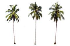 Odosobneni drzewka palmowe na białym tle dla dekorującego pomysłu natura obrazy stock