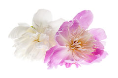 Odosobneni peonia kwiaty Zdjęcia Stock