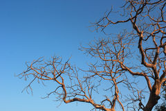 Odosobneni susi drzewni bances Obraz Royalty Free