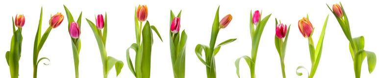 odosobneni tulipany Fotografia Royalty Free