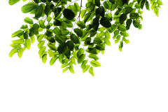 odosobneni zieleń liść Zdjęcia Stock
