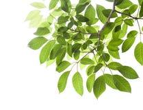odosobneni zieleń liść fotografia stock