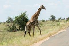 Odosobniona żyrafa krzyżuje ulicę krueger park narodowy obrazy stock