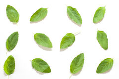 Odosobniona basilu liścia tekstura Fotografia Stock