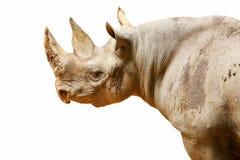 odosobniona czerń nosorożec Zdjęcia Royalty Free