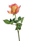 Odosobniona czerwień i żółta kolor róża z zielonymi liśćmi Zdjęcia Stock