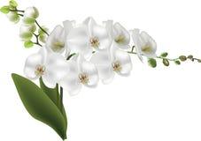 Odosobniona gałąź z białą wielką orchideą pączkuje i kwitnie ilustracja wektor