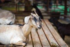 Odosobniona kózka Głowa śmieszna niemądra przyglądająca czarna kózka odizolowywał zoo w Bangkok przy Thailand obrazy stock