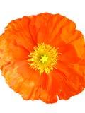 odosobniona kwiat czerwień Zdjęcie Stock