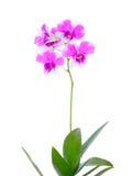 odosobniona kwiat orchidea Fotografia Stock