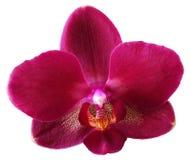odosobniona kwiat orchidea zdjęcie stock