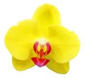 odosobniona kwiat orchidea zdjęcie royalty free