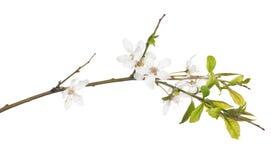 Odosobniona kwitnąca biała wiosny wiśni gałąź fotografia royalty free