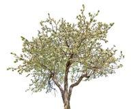 Odosobniona kwitnąca wielka stara jabłoń zdjęcia royalty free