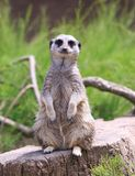 Odosobniona meerkat pozycja na patrolowy patrzeć w kamerę Zdjęcia Royalty Free