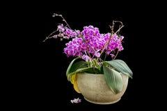 Odosobniona menchia kwitnie w flowerpot Fotografia Royalty Free