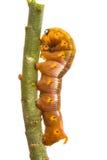 Odosobniona Motylia larwa na drzewie Zdjęcie Stock