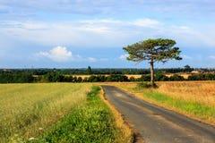 Odosobniona ogromna sosna przy środkiem pole Zdjęcie Royalty Free