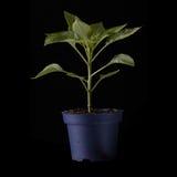 odosobniona pieprzowa roślina Zdjęcia Royalty Free