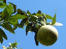 Odosobniona Pomelo owoc na drzewie fotografia royalty free