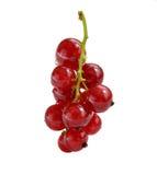 Odosobniona redcurrant roślina Zdjęcia Royalty Free