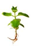 odosobniona roślina zakorzenia biały całego obraz stock