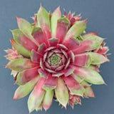 Odosobniona Sempervivum roślina Obrazy Royalty Free