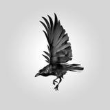 Odosobniona wizerunku latania wrona Zdjęcie Royalty Free