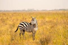 Odosobniona zebra w sawanny wsi obrazy royalty free