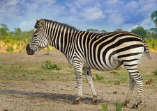 Odosobniona zebry pozycja na równinach w Etosha Fotografia Royalty Free